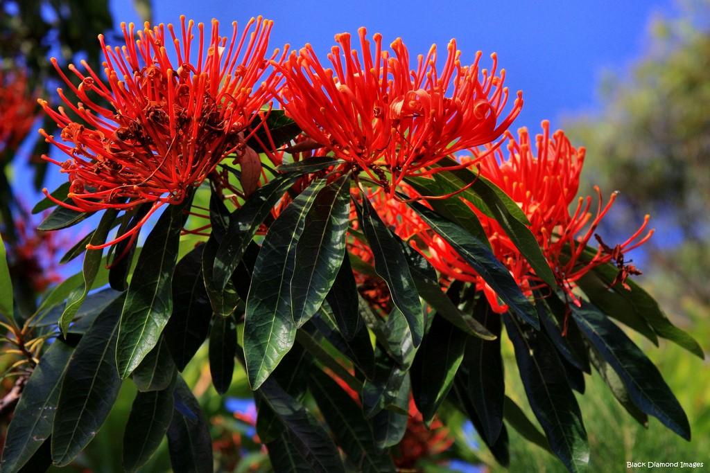 Australian Queensland Tree Waratah