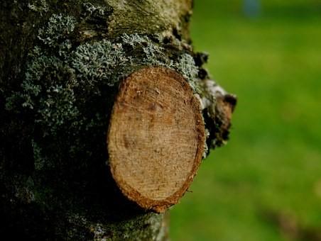Lopped branch